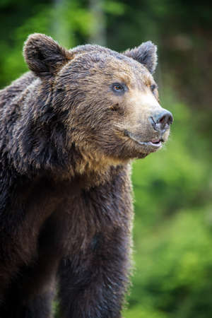 Closeup brown bear (Ursus arctos) portrait in spring forest Stock Photo
