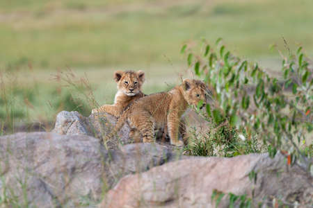African Lion cub, (Panthera leo), Parc National du Kenya, Afrique