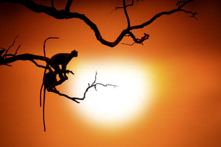 Silhouette of a monkey on tree in sunset Stock Photo