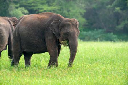 Elephants in Yalla National Park of Sri Lanka