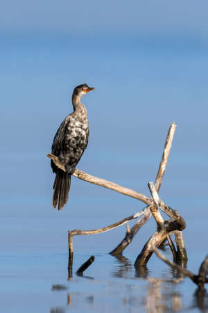 Cormorant microcarbo melanoleucos perched on a branch in lake Stock Photo