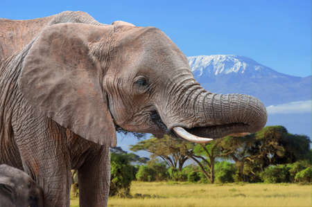 Elephant on Kilimanjaro background in National park of Kenya, Africa