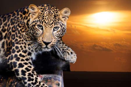 Close up portrait young leopard on sunset
