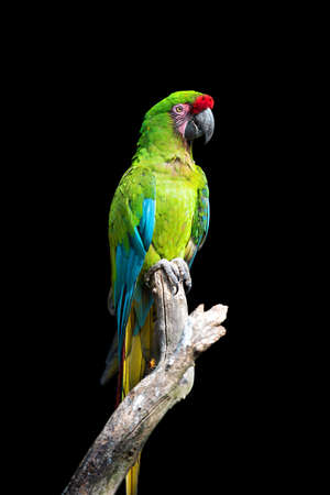 Parrot bird (Severe Macaw) sitting on the branch on dark background Banque d'images - 108132940