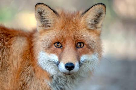 Primo piano divertente giovane ritratto di volpe rossa Archivio Fotografico