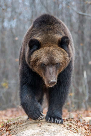 Close up big brown bear in autumn forest Banque d'images - 112508175