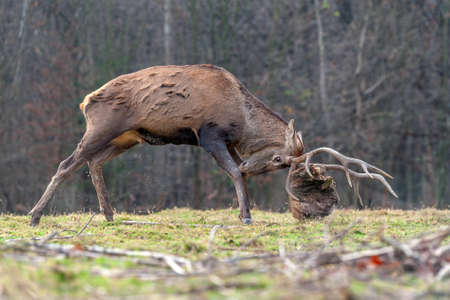 Roe deer fight the root of the tree in autumn forest