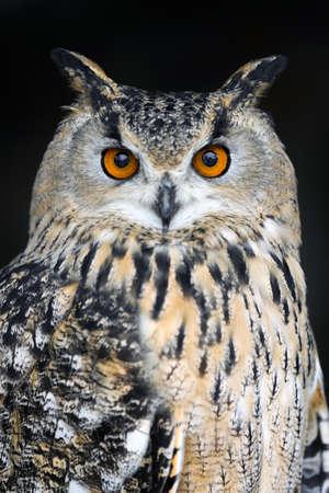 Close up owl portrait on dark background