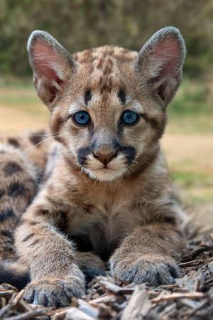 Ritratto baby puma, leone di montagna o puma