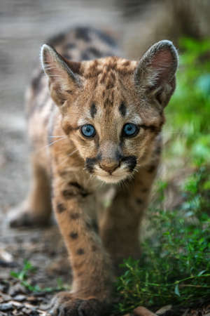 Portrait baby cougar, mountain lion or puma