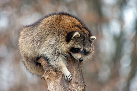Young raccoon on a top tree