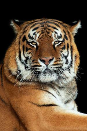 Hermoso retrato de tigre sobre fondo negro