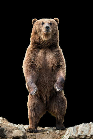 Brown bear (Ursus arctos) standing on his hind legs on the black background 스톡 콘텐츠