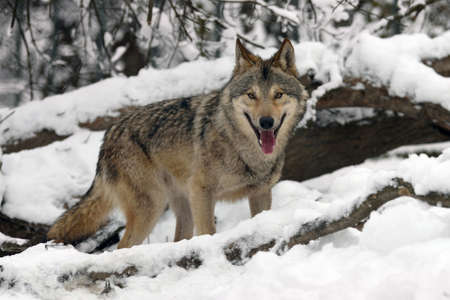 Timber wolf hunting in the winter forest