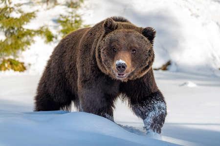 Cerca de gran oso pardo salvaje en bosque de invierno Foto de archivo