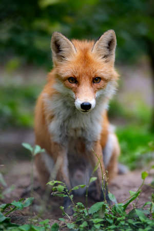 Closeup of a wild young red fox (vulpes vulpes) resting in a forest Stockfoto