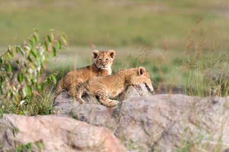 Cachorro de león africano (Panthera leo), parque nacional de Kenia, África Foto de archivo