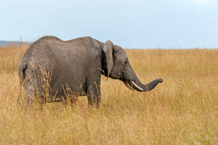 Elephant in National park of Kenya, Africa 免版税图像
