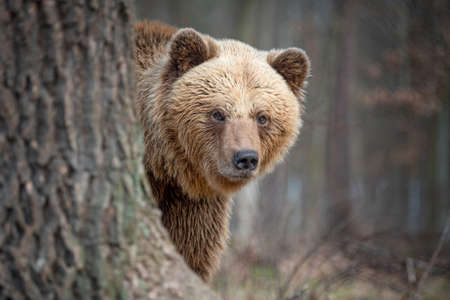 Close up big brown bear in spring forest 版權商用圖片