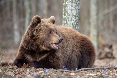 Close up big brown bear in spring forest Stock Photo