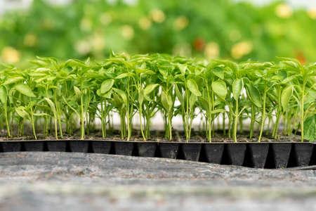 Kleine Setzlinge wachsen im Gewächshausgarten Standard-Bild