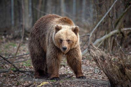 Close-up van grote bruine beer in het voorjaar bos
