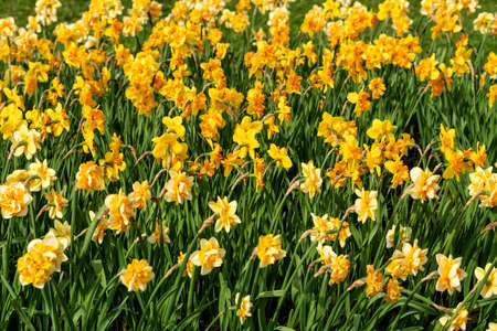 Narcissus field in blooming on spring garden Stock Photo