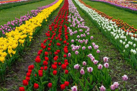 Spring fields of blooming tulip. Beauty outdoor scene. Colorful  flowers farm landscape