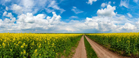 Field of rapeseed with rural road and beautiful cloud. Plant for green energy and industry  版權商用圖片