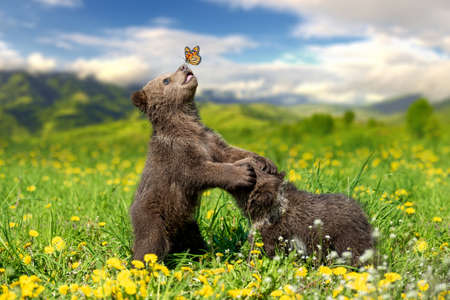 Brown bear cub playing on the summer mountain with butterfly. Ursus arctos in grass with yellow flowers