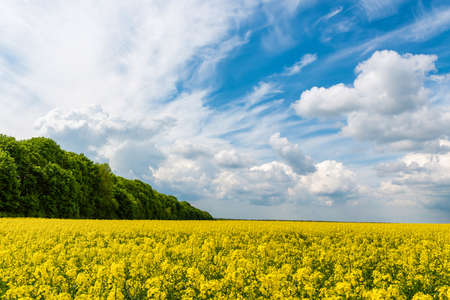 Field of yellow rapeseed against and blue sky Imagens