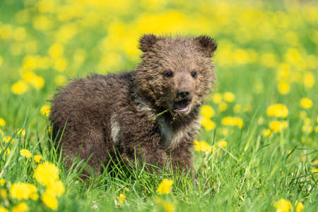 Brown bear cub playing on the summer field. Ursus arctos in grass with yellow flowers