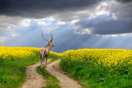 Deer standing on the road in summer field with yellow flowers