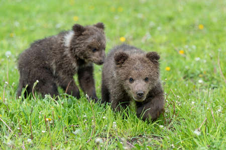 Two brown bear cub playing on the field. Ursus arctos in summer grass