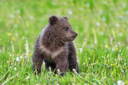 Brown bear cub playing on the field. Ursus arctos in summer grass
