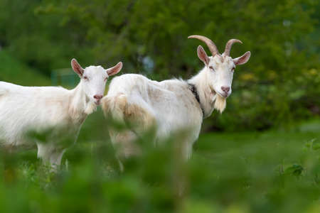 Close two white goat standing on green grass