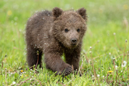 Brown bear cub playing on the summer field. Ursus arctos in grass