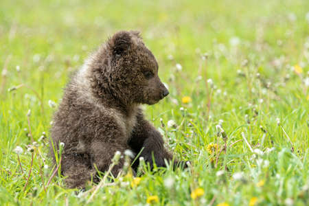 Brown bear cub playing on the summer field. Ursus arctos in grass Stock fotó