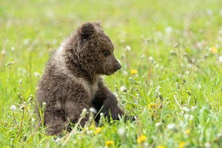Bruine beer cub spelen op het veld van de zomer. Ursus arctos in gras Stockfoto