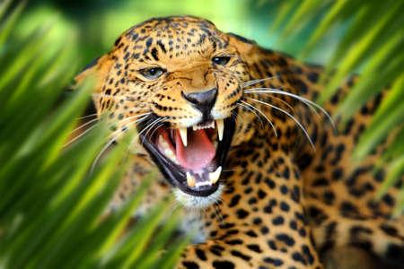 Cerrar retrato de leopardo en la selva con hojas