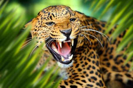 Close up leopard portrait in jungle with leaf