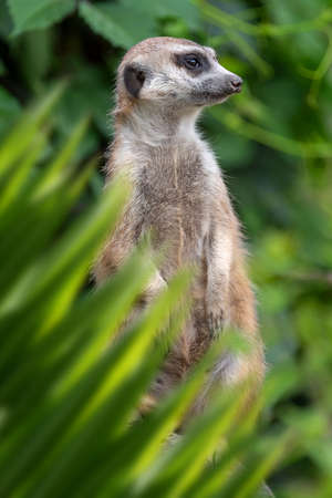Close up meerkat portrait in jungle with leaf