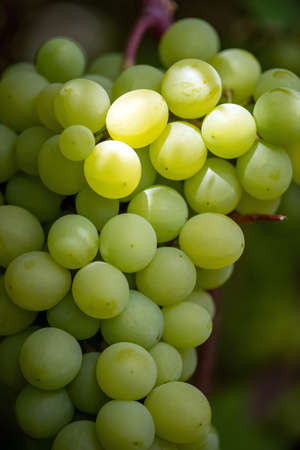 Close-up of bunches of ripe wine grapes on vine