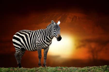 Close zebra on savanna landscape background and Mount Kilimanjaro at sunset Stock Photo