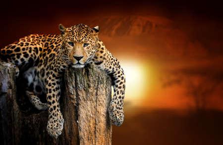 Naher Leopard auf Savannenlandschaftshintergrund und Kilimanjaro bei Sonnenuntergang Standard-Bild