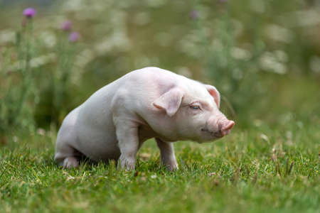 Young funny pig on a green grass in summer time