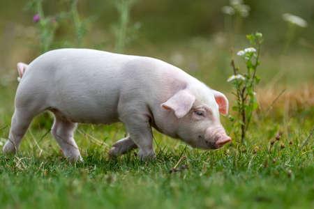 Młoda śmieszna świnia na zielonej trawie w okresie letnim