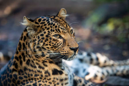 Close up portrait of leopard (Panthera pardus)