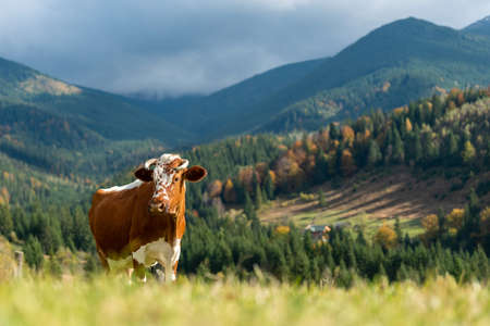 Brown mountain cows grazing on pasture in summer. Concept of agriculture