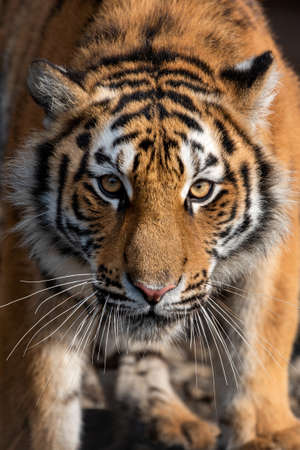 Close up view portrait of a Siberian tiger (Panthera tigris altaica)